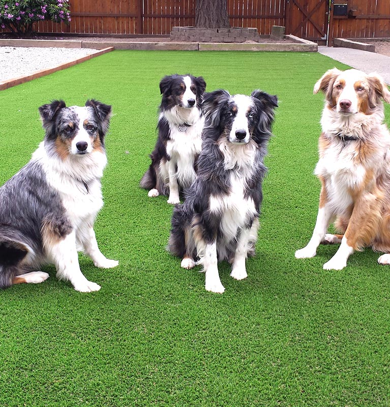 dogs sitting in an artificial turf yard